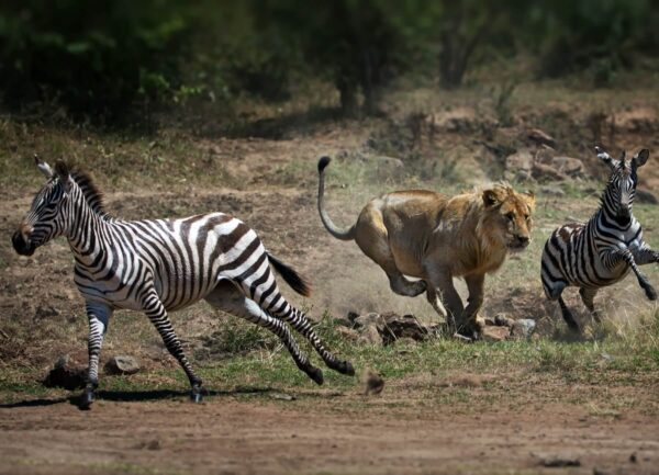 """""""Africa"""" Artwork is a colour photograph of a lion hunting for two zebras. Art print available in different mediums."""