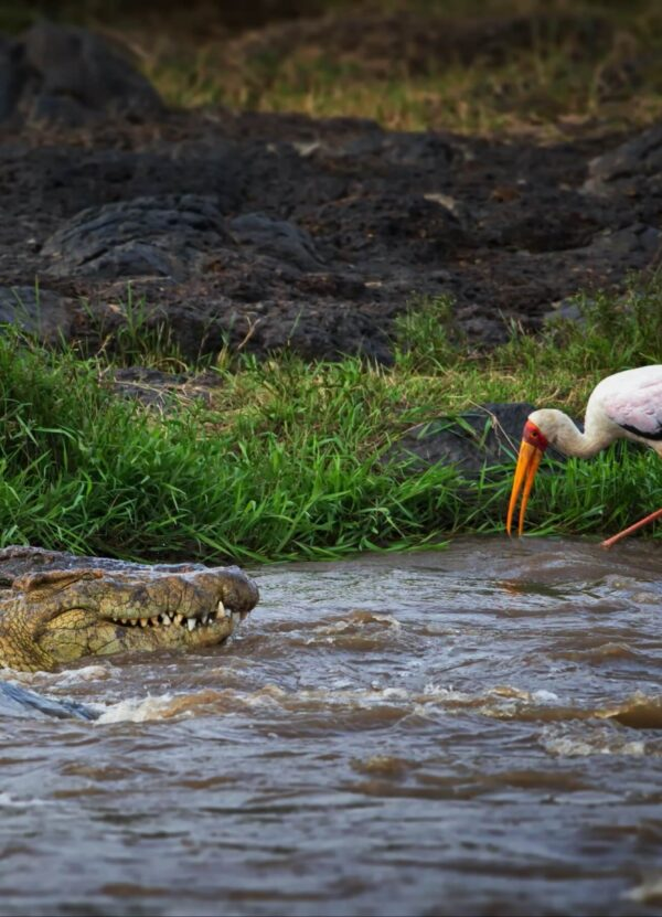 """""""African Sentiment #2"""" Artwork zoomed crocodile hunt on the stork. This art print is available in different sizes. This piece is a part of the panoramic work."""
