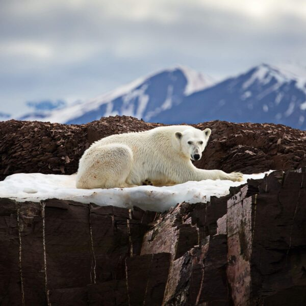 """""""Central Figure"""" Artwork is a colour photograph of bear laying down in snow on the rock. Art print available in different mediums."""