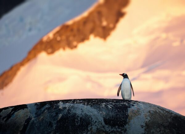 """""""Cosmos"""" Artwork is a colour photograph of a penguin on the rock, a beautiful sun light is on the background. Art print available in different mediums."""