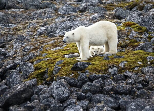 """""""Espionage"""" Artwork is a colour photograph of a mother polar bear with its baby standing on the rocks. Art print available in different mediums."""