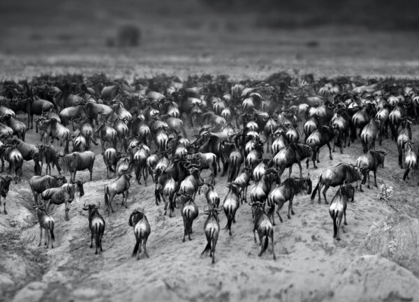 """""""Exodus"""" Artwork is a black and white photograph of a bulls in the desert. Art print available in different mediums."""