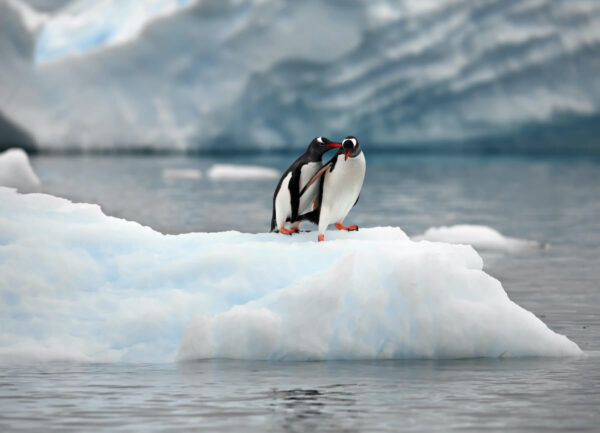 """""""Penguin Stories #3"""" Artwork is a colour photograph of two penguins standing on the ice pile together. Art print available in different mediums."""