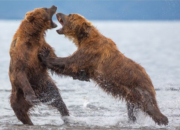 """""""Family Bear Talk"""" Artwork is a wild life photograph of two bears fighting in the water."""