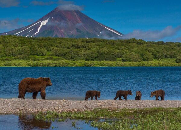 """""""Family Walk"""" Artwork is a wild life photograph of a bear family walking by the lake. Behind is the volcano."""