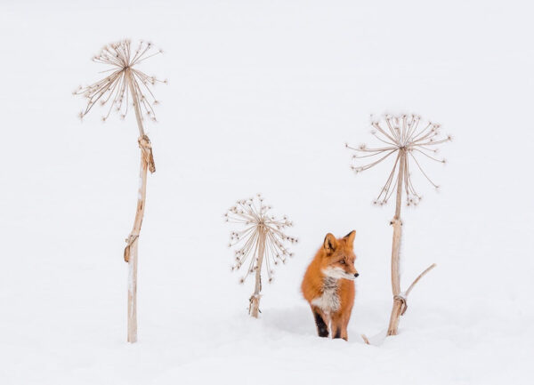 """""""Hide and Seek"""" Artwork is a wild life photograph of a fox in the snow with dry plants around it."""