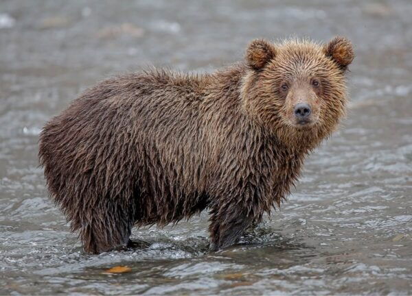 """""""Lost"""" Artwork is a wild life photograph of a wet teddy bear."""
