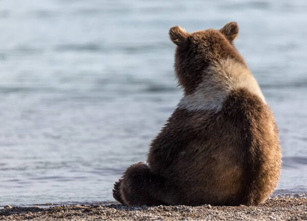 """""""Sad Motya"""" Artwork is a wild life photograph of a bear looking on the water. The photo is taken from behind."""