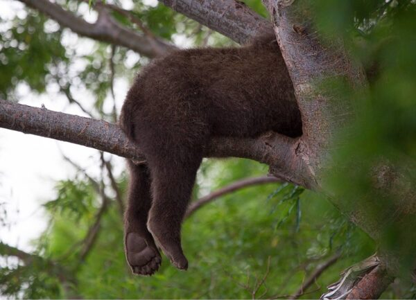 """""""Sleeping Paws"""" Artwork is a wild life photograph of a bear laying on a branch."""