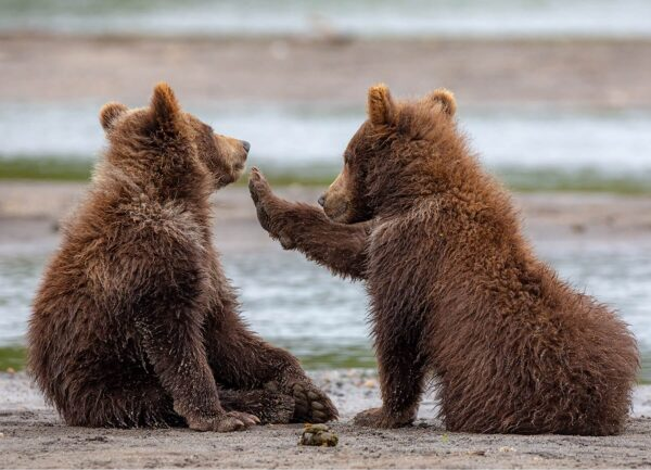 """""""Something in your Teeth"""" Artwork is a wild life photograph of two bears sitting together."""