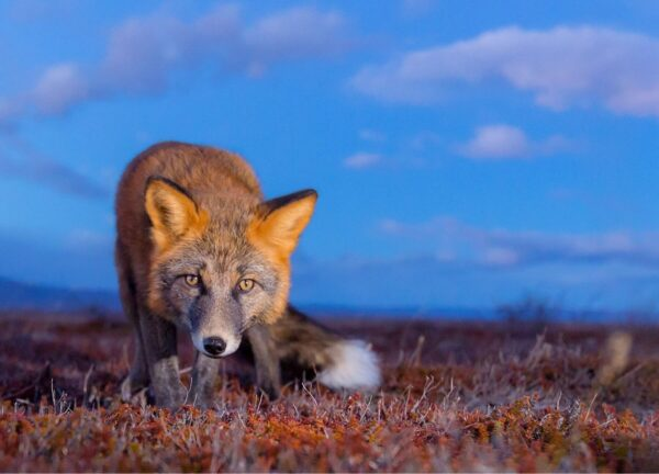 """""""Tyson"""" Artwork is a wild life photograph of a fox staring directly at the camera."""