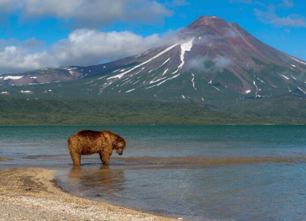 """""""Waiting for Salmon"""" Artwork is a wild life photograph of a bear hunting and a volcano on the background."""