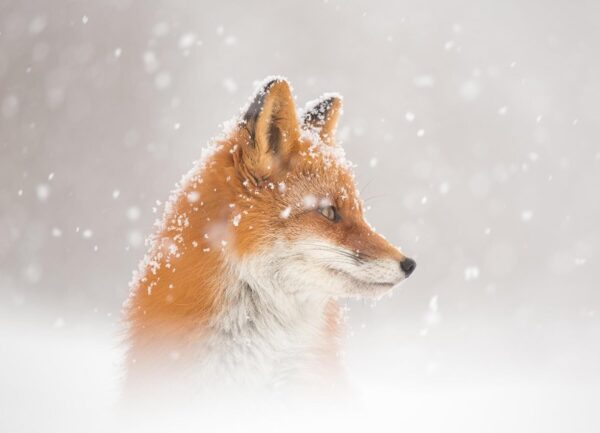 """""""Snowing"""" Artwork is a wild life photograph of a fox under the snowfall."""
