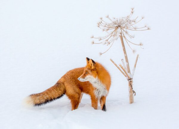 """""""Still Life in Winter"""" Artwork is a wild life photograph of a fox next to s dry plant covered in snow."""