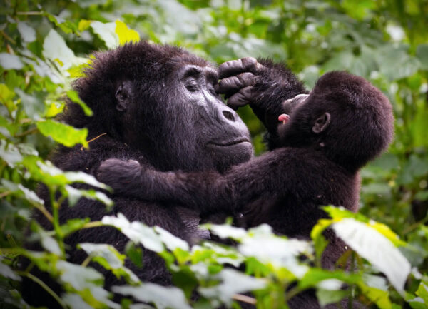 """""""Animal Instinct"""" Artwork is a colour photograph of a mother monkey holding her baby in the jungles."""