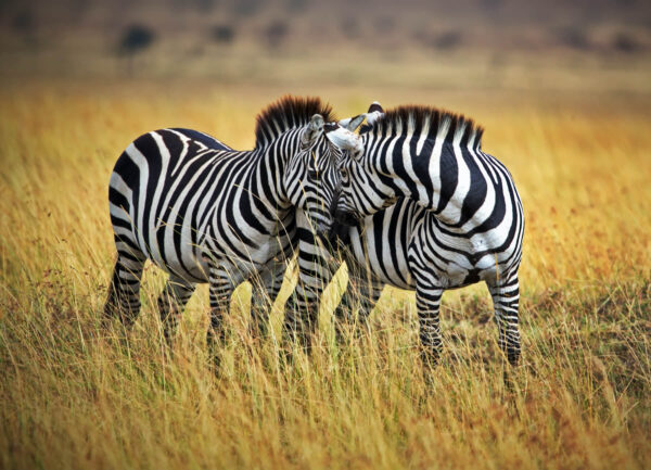 """""""Intimate Conversation"""" Artwork is a colour photograph of two zebras facing each other."""