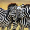 """""""Intimate Conversation"""" Artwork zoomed to zebra's heads."""
