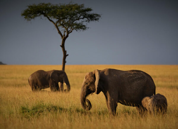 """""""Midday"""" Artwork is a minimalistic colour photograph of an elephant family."""