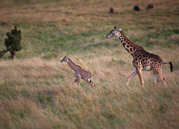 """""""Morning Jogging"""" Artwork is a colour photograph of a mother giraffe and her child walking."""