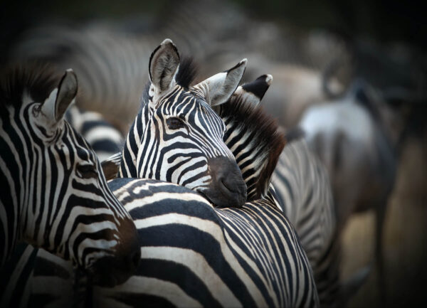 """""""Striped Relationship"""" Artwork is a colour photograph of zebras."""