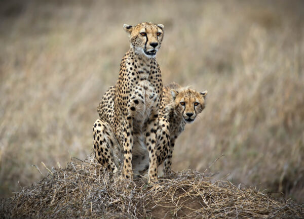 """""""The Hunters"""" Artwork is a colour photograph of two cheetah watching the prey."""