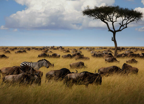 """""""The Locals"""" Artwork is a colour photograph of an African landscape with one zebra surrounded by bulls."""