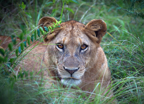 """""""The Queen"""" Artwork is a colour photograph of a lioness in the grass."""