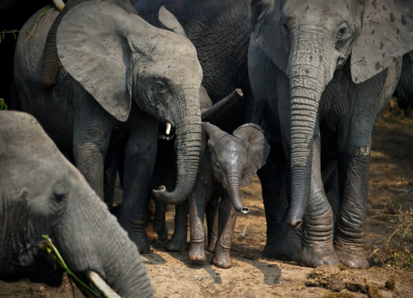 """""""Welcome to the Family"""" Artwork is a colour photograph of an elephant family welcoming the baby elephant."""