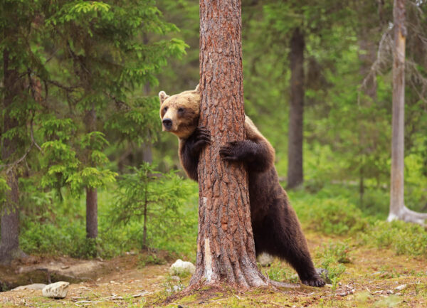 """""""Looking for Me?"""" Photograph is a colour artwork of a bear looking from behind the tree."""