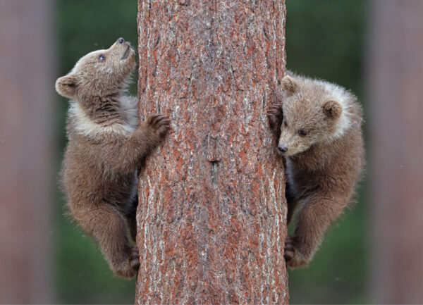 """""""Up or Down"""" Photograph is a colour artwork of two bears climbing up the tree."""