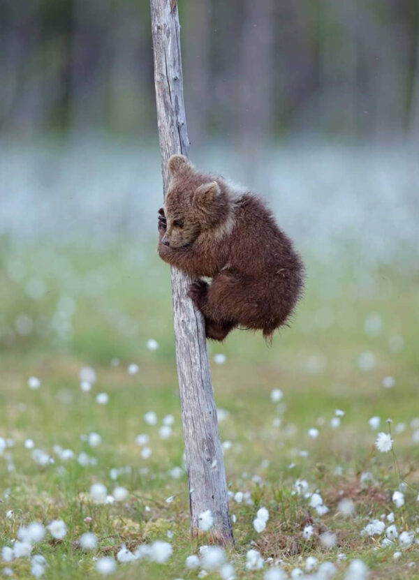 """""""Climbing Up I"""" Photograph is a colour artwork of a baby bear trying to climb a thin tree."""