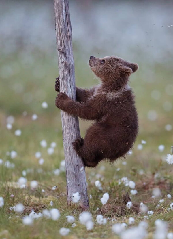 """""""Climbing Up III"""" Photograph is a colour artwork of a baby bear climbing a thin tree with a flower field on the background."""