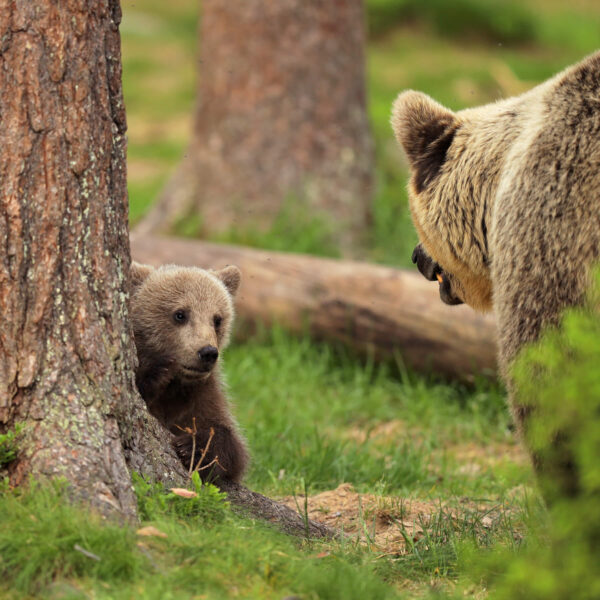 """""""Mom, I promise to be good"""" Photograph is a colour artwork capturing the baby bear scared in front of his mother."""