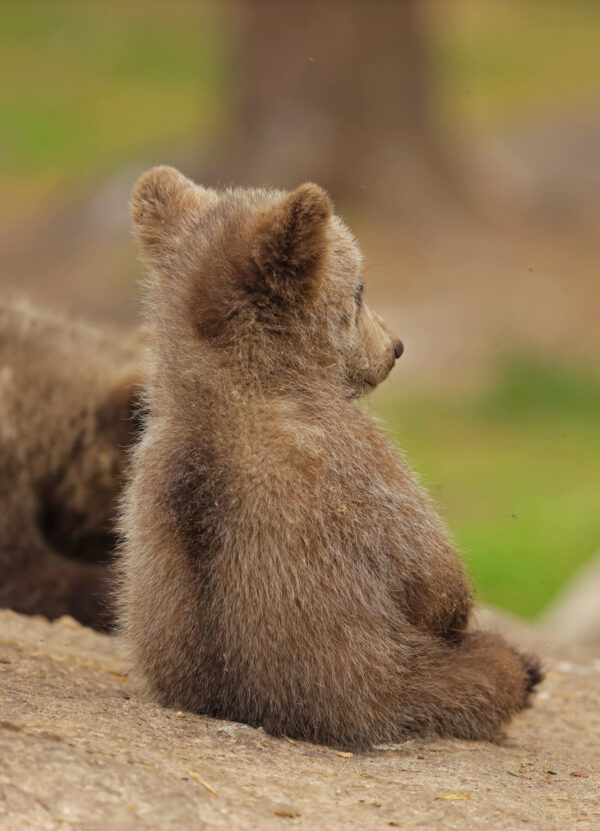 """""""The Thinker"""" Photograph is a colour artwork capturing the thinking baby bear from behind."""