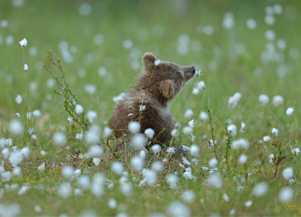 """""""Romantic Mood"""" Photograph is a colour artwork capturing the baby bear in the field of white flowers."""
