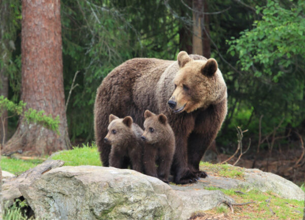 """""""Smile, Kids"""" Photograph is a colour artwork capturing the mother bear and its two cobs looking at something."""