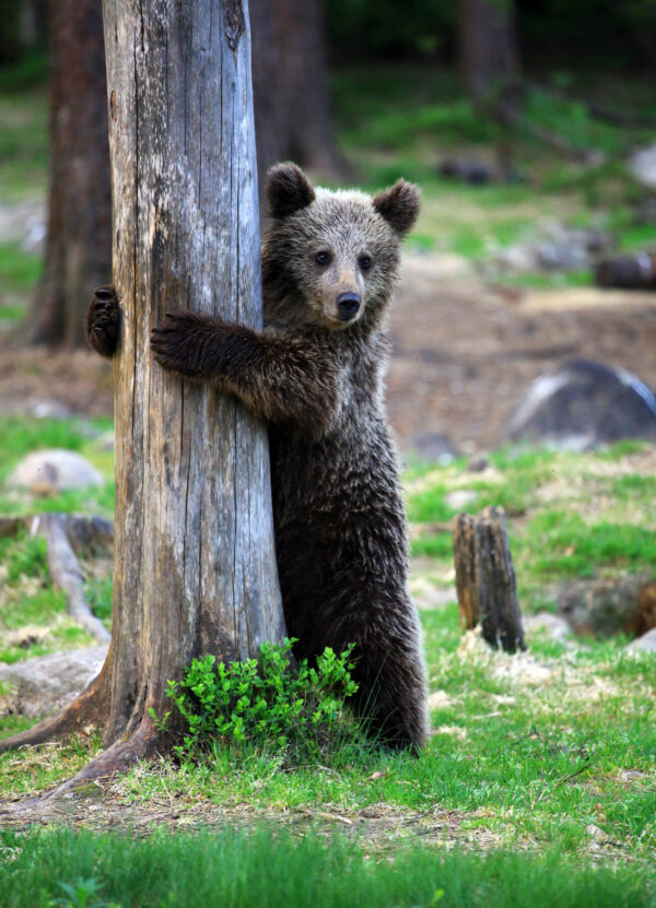 """""""The Spy"""" Photograph is a colour artwork capturing the bear putting his paws around the tree."""
