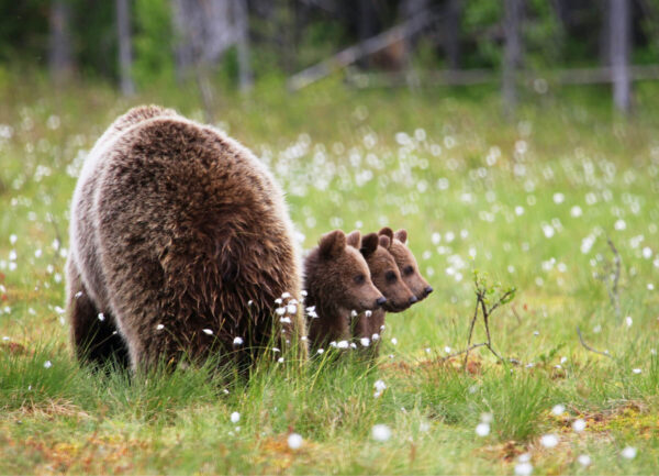"""""""Staying near Mommy I"""" Photograph is a colour artwork capturing the back of the mama bear and the three cobs next to it."""