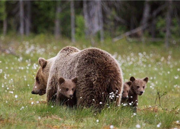 """""""Staying near Mommy II"""" Photograph is a colour artwork capturing the back of the mama bear and the three cobs next to it."""