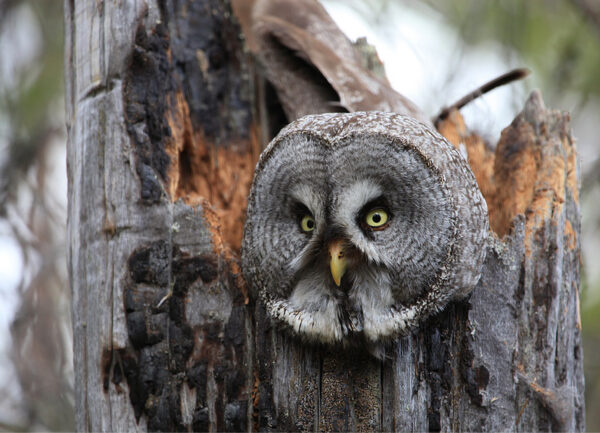 """""""Where is the Mouse?"""" Photograph is a colour artwork of an owl."""