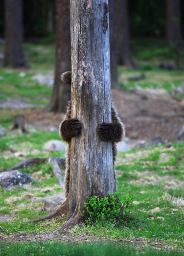 """""""Humble"""" Photograph is a colour artwork capturing the bear hiding behind the log with only his paws showing."""